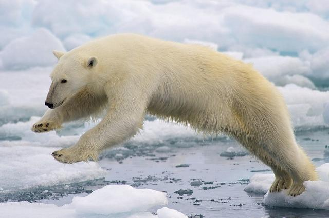 Polar bears sticking to the same habitat conditions even while sea ice disappears