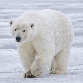 What do Polar Bears eat?