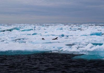 seals on the ice June 17