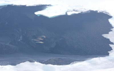 Narwhals help to track melting Arctic Ice