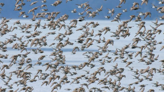 Arctic 'no safe haven' for migrating birds